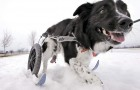 Can't Walk My Dog Because of Snow – Dog Wheelchair Skis