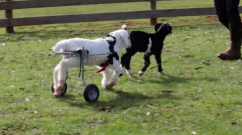 Miracle Wheelchair-Bound Baby Goat Learns To Walk