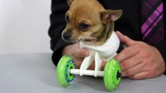 Turbo: The Chihuahua Born Without Legs Starts Rolling